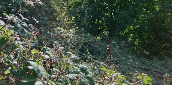 Brambles and blackberries, 11/9/11