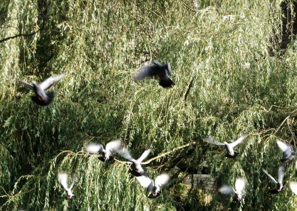 Pigeons, 21/9/11