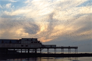 Aber pier with starlings, 13/2/16