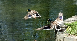 Ducks taking off, 2/6/12