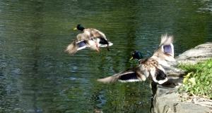 Ducks taking off, 2/6/12
