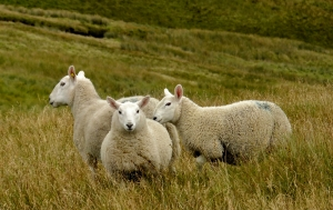 Sheep in Mosedale, 31/8/12