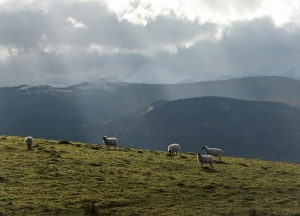 Sheep on Binsey, 4/2/14