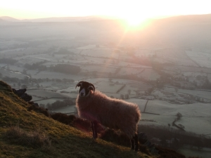 Sheep on Doddick Fell, 14/1/12