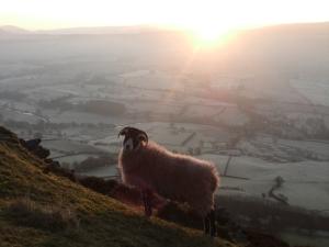 Sheep on Doddick Fell, 14/1/12