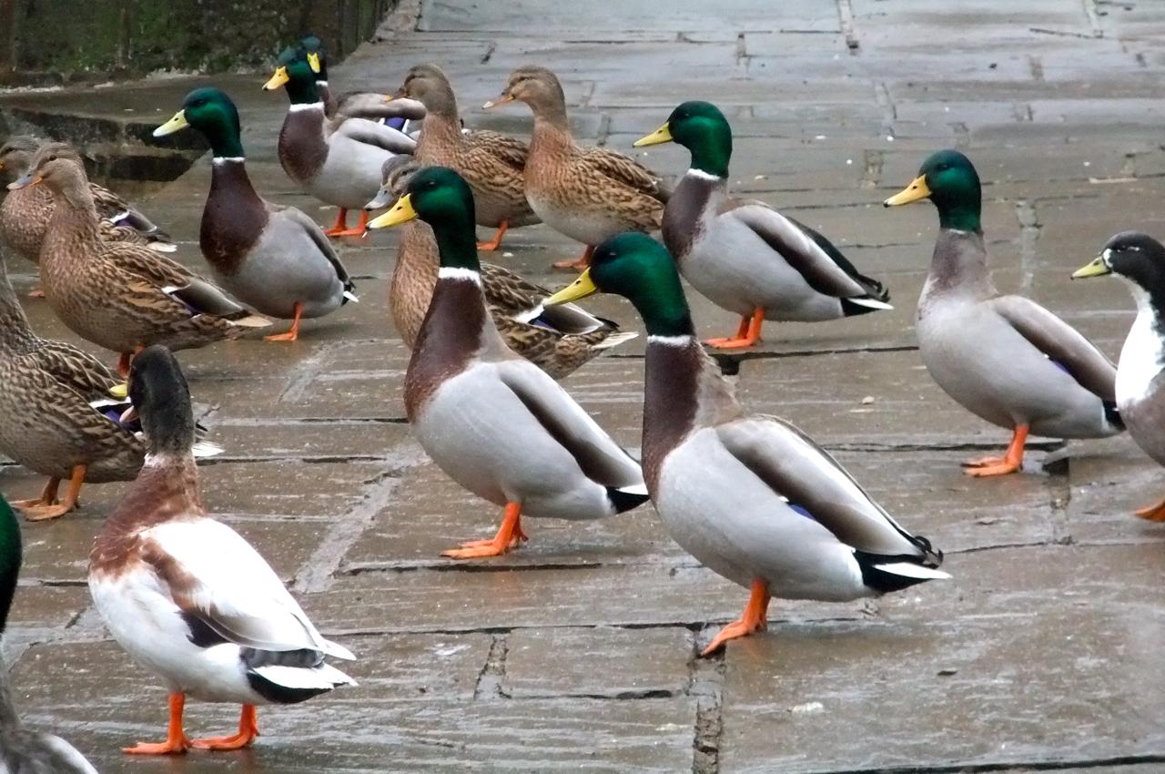 Dating duck decoys