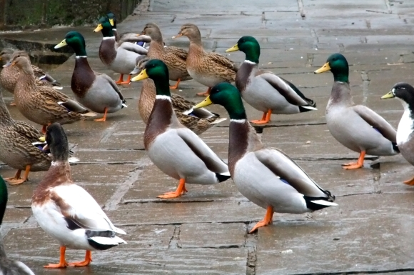 Duck parade, 22/11/11