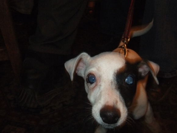 Jack Russell pup, 25/11/11