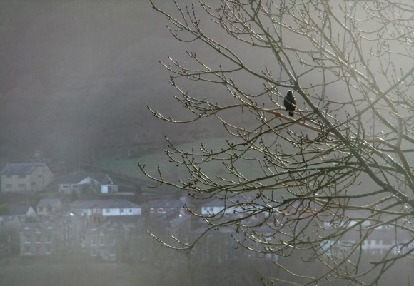 Blackbird in tree, 12/1/12