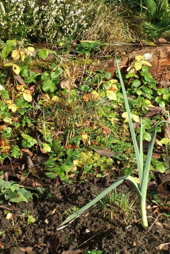 Leek in garden, 2/1/12