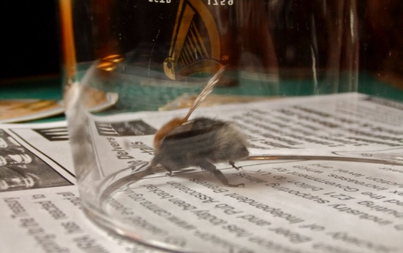 Bee in glass, 23/3/12