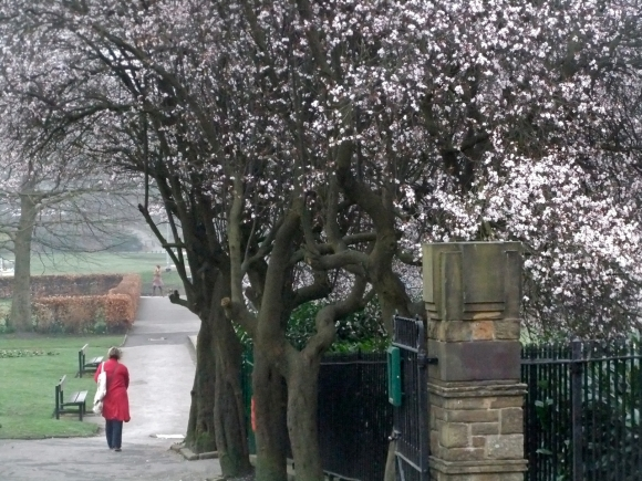 Blossom in the park, 15/3/12