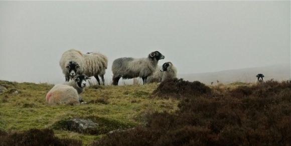 Sheep quintet, 12/3/12