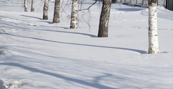 Silver birches, 28/3/12