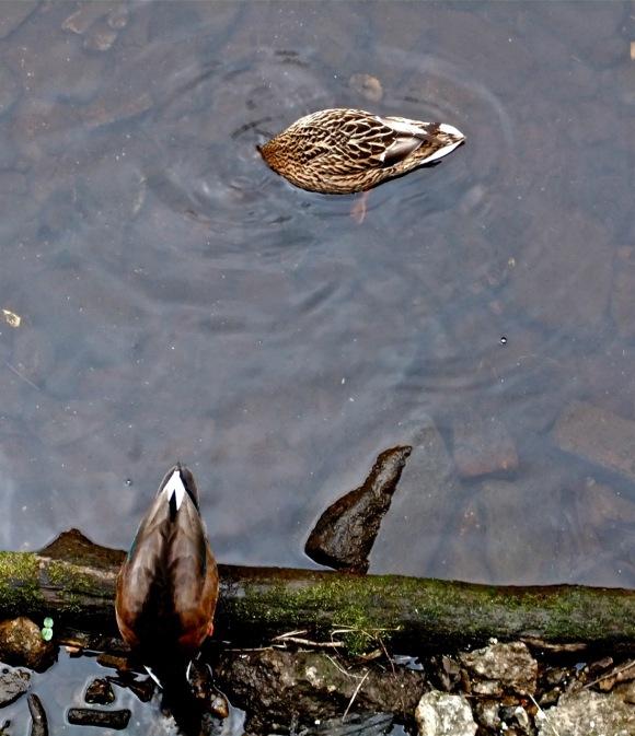 Two ducks, 31/3/12