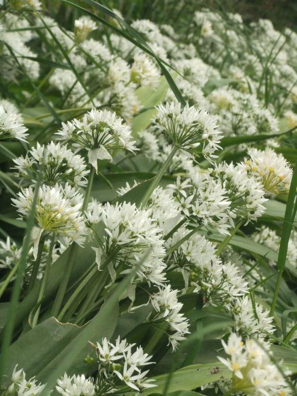 Wild garlic, 20/5/12