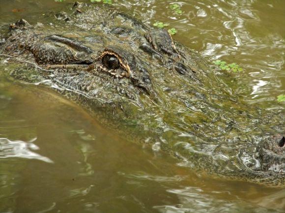 Aliigator, 14-7-12