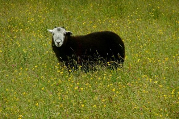 Sheep in buttercups, 2/7/12
