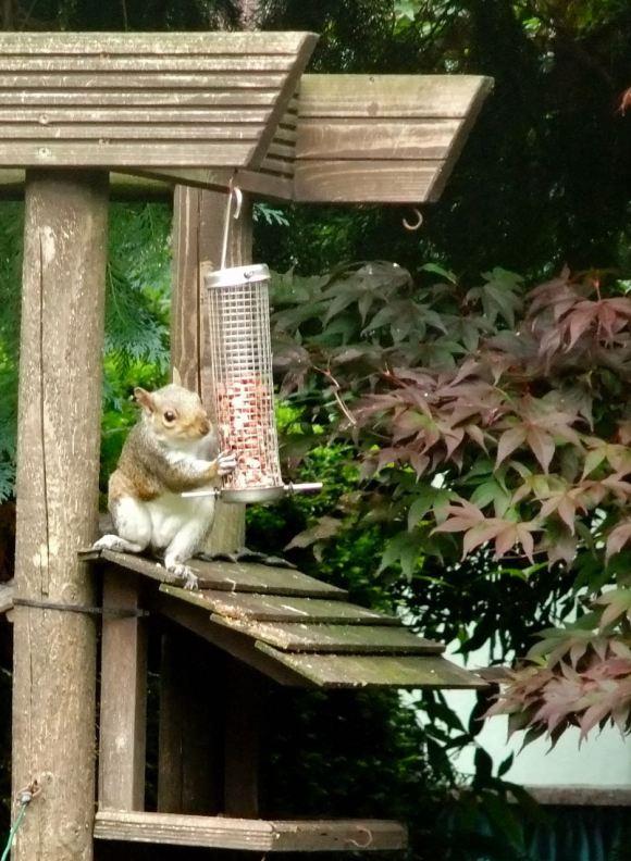 Thieving squirrel, 27/7/12