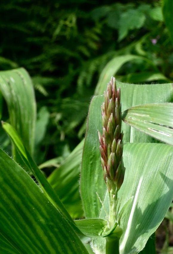 Ear of corn, 16/8/12