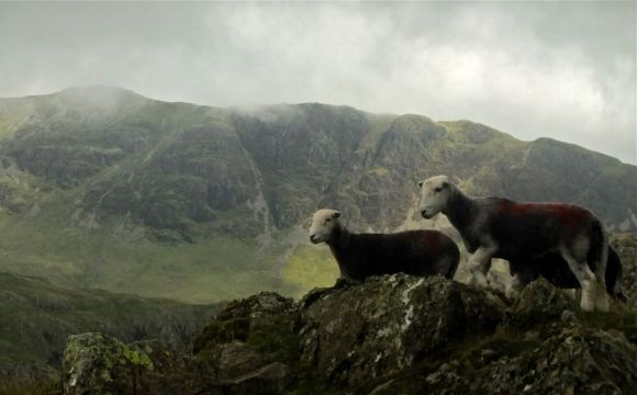 Sheep and Yewbarrow, 20/8/12