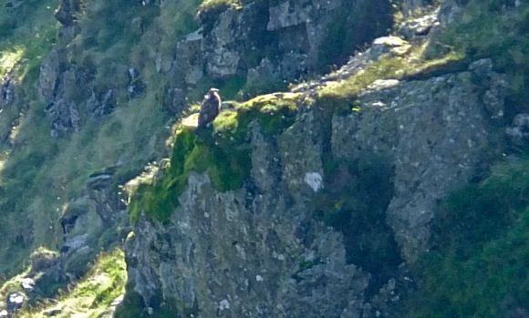 Golden eagle, 15/9/12