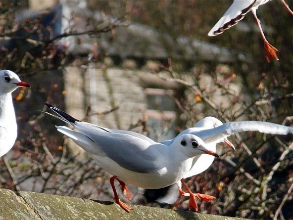 Seagulls HB, 23/11/12