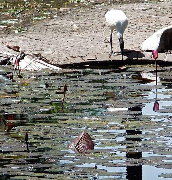 Ibis, Botanical Gardens, 30/1/13
