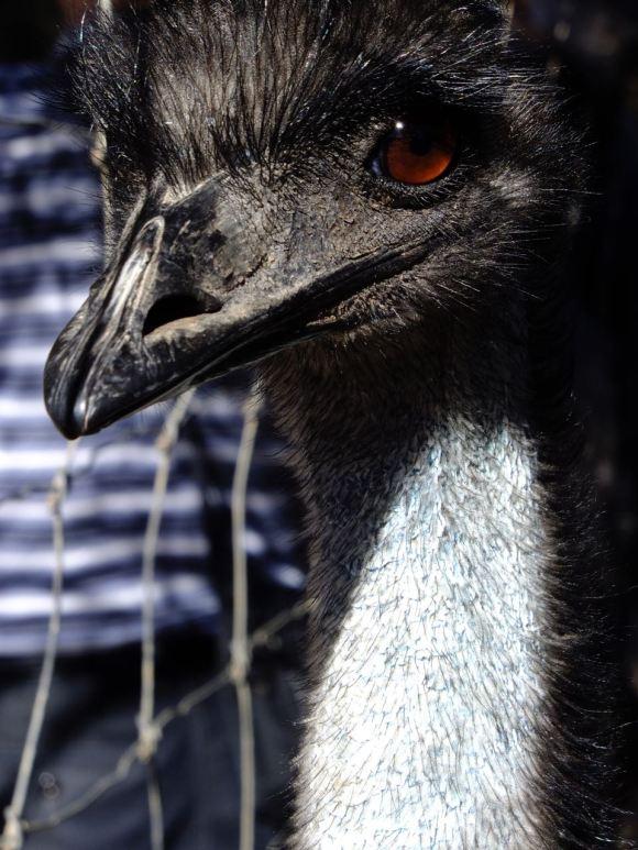 Emu, 6/2/13