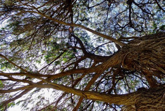 Eucalyptus, 7/2/13