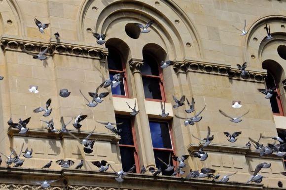 Pigeons, SA museum, 2/2/13