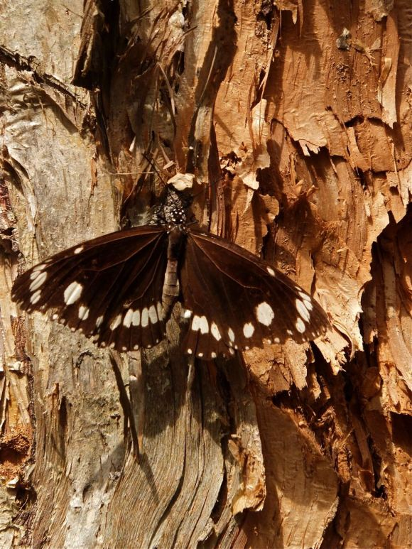 Butterfly on paperbark tree, 18/3/13_low-res