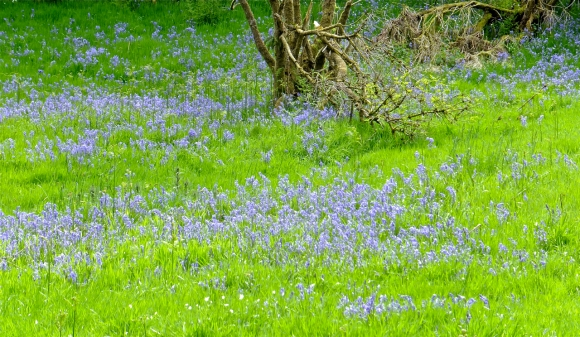 Bluebell meadow, 2/6/13
