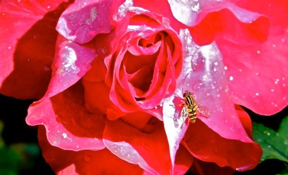 Rose, 16/8/13