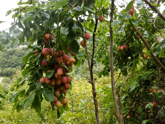Plum tree, 20/9/13