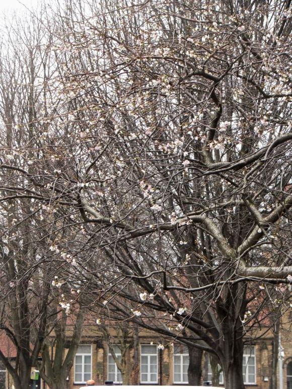 Apple blossom, 18/12/13