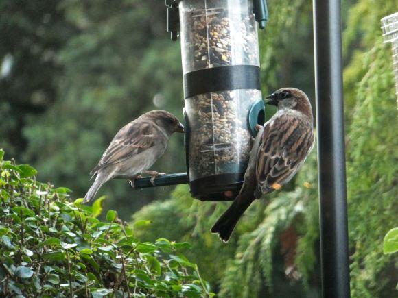 Sparrows feeding, 26/12/13