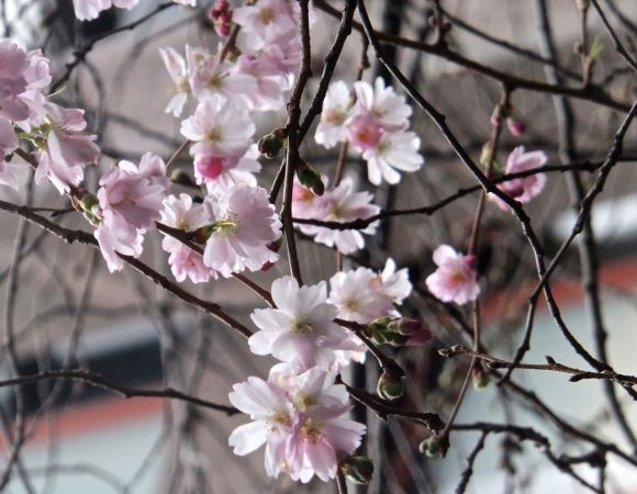 Cherry blossom, 19/2/14