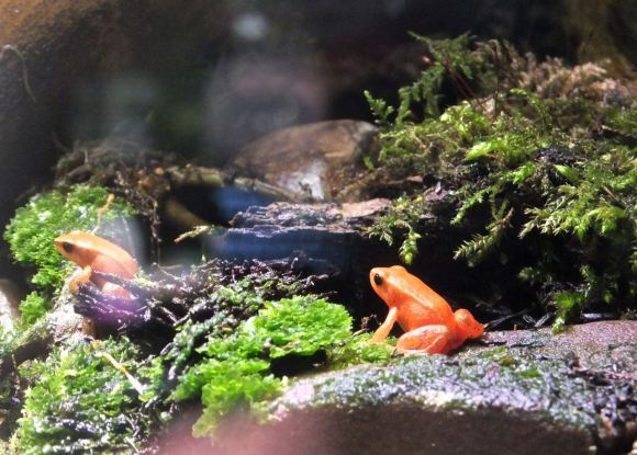 Frogs in vivarium, 23/2/14