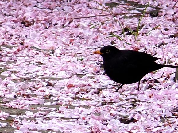 Blackbird and blossom, 2/5/14