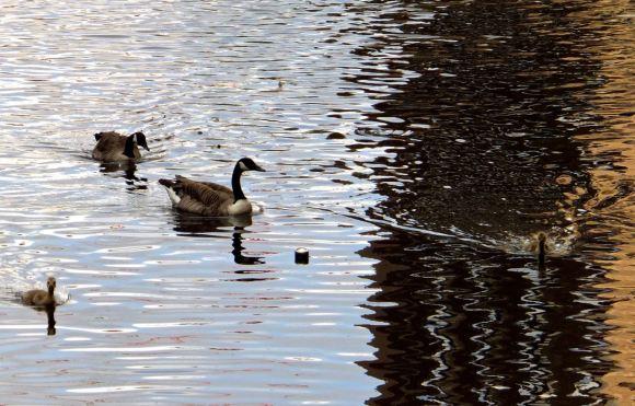 Geese and goslings, 21/5/14