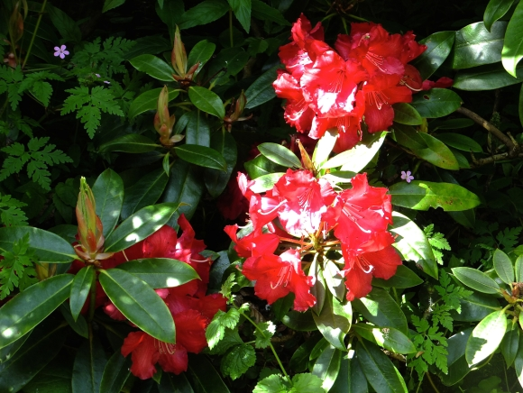 Rhododendron, 17/5/14