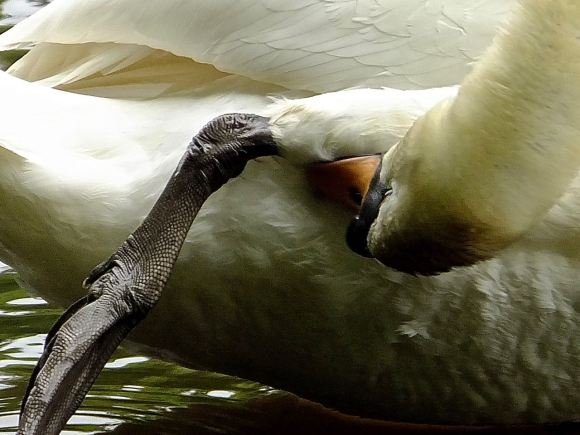 Swan, cleaning, 29/5/14