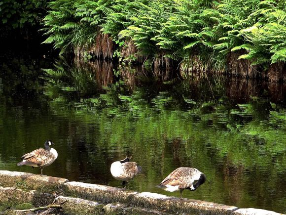 Geese on the weir, 6/6/14