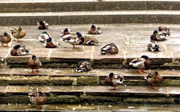 Sleeping ducks, 27/6/14