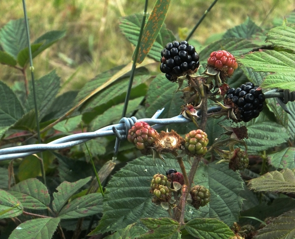 Blackberries, 12/8/14