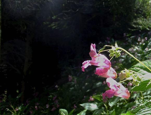 Himalayan Balsam, 3/8/14