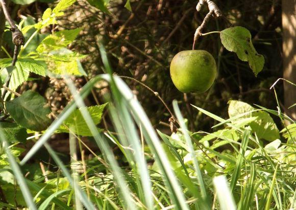 Last apple, 5/10/14