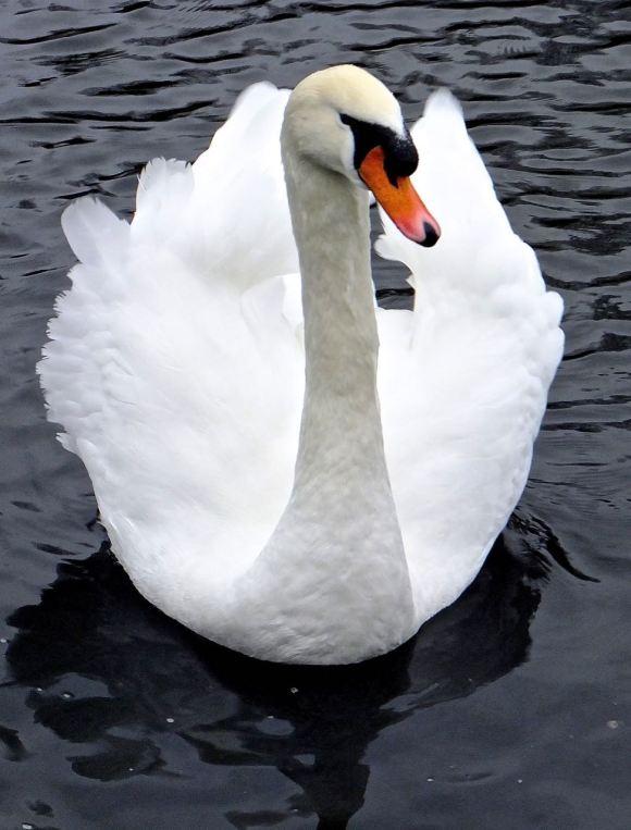 Swan, 31/12/14