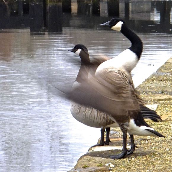 Canada geese, 25/2/15